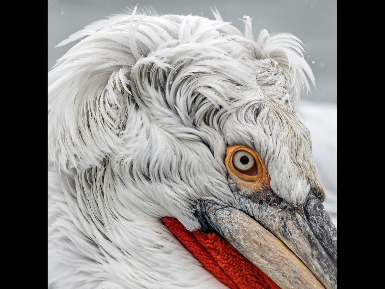 PDI Commended_Dalmatian Pelican Detail by Chris Ellison