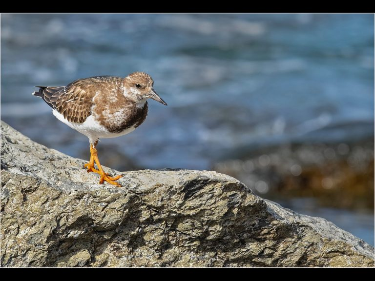 PDI Commended_Kentish Plover by Bryan Cherry