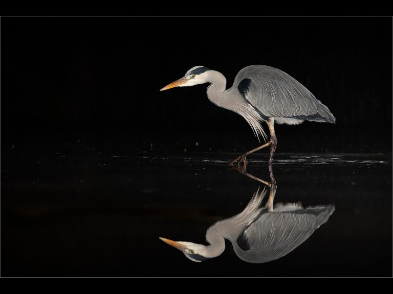 PDI Very Highly Commended_Grey Heron Night Hunting by Chris Ellison