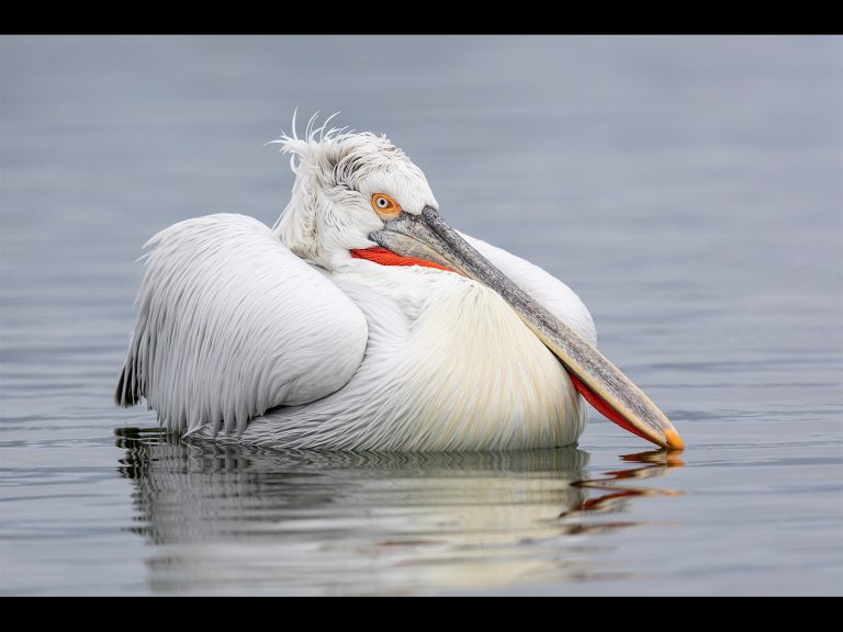 Print Highly Commended_Dalmatian Pelican At Rest by Chris Ellison