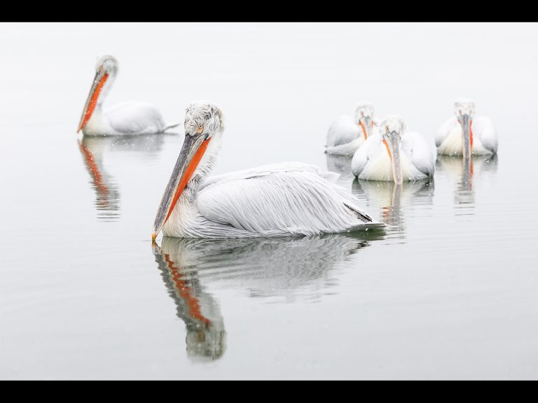 Print Third Place and Best Nature Winner_Pelicans In The Snow by Chris Ellison