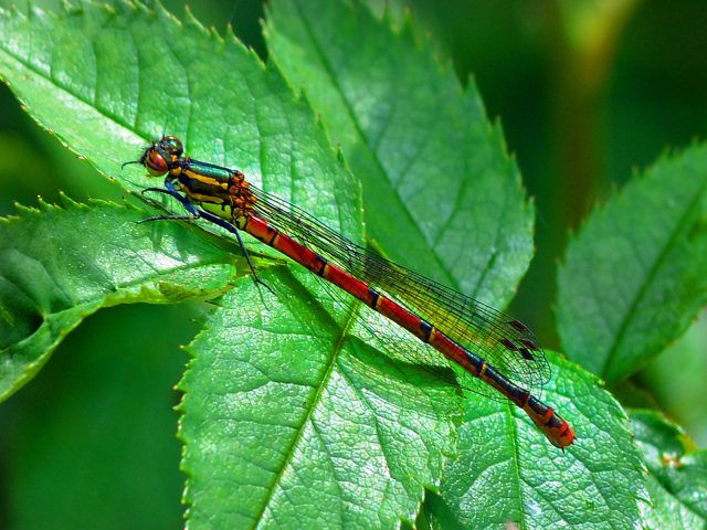 1030 Red Damselfly