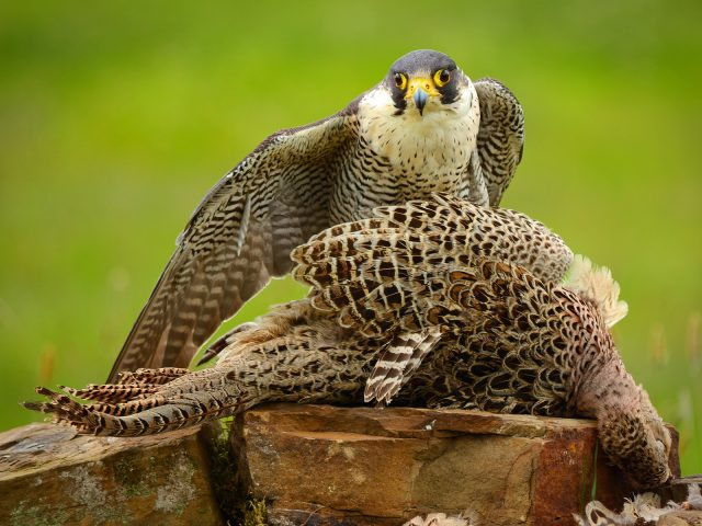 2nd Place PDI_Peregrine With Prey