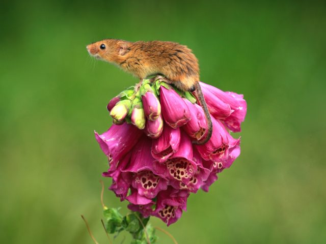 PDI 3rd Place_Philip Wallbank_Harvest Mouse on Foxglove