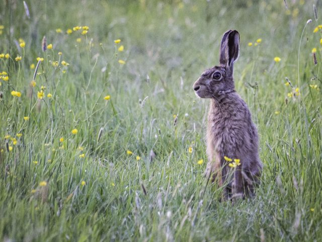 2017 Hare in the meadow