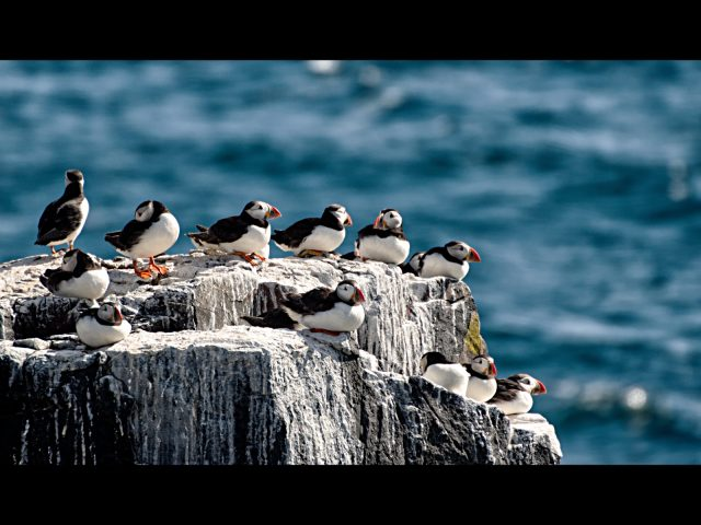 2023 Puffins Resting
