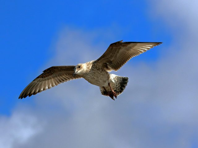 2032 SEAGULL IN FLIGHT 4