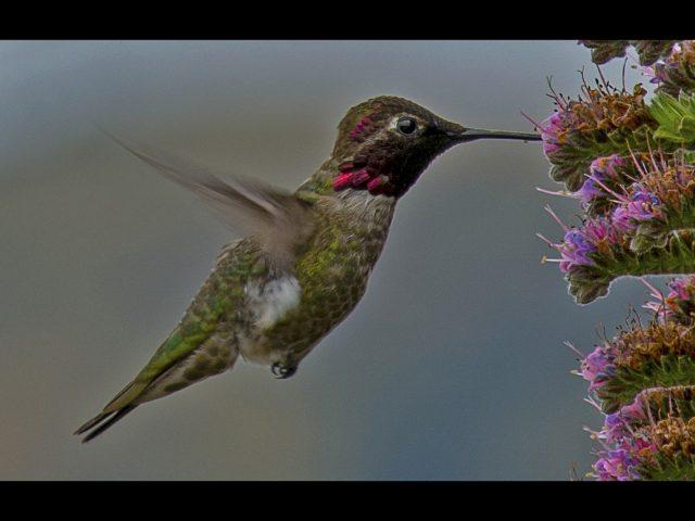 2071 Hummingbird