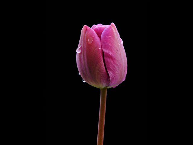 2090 Tulip with raindrops