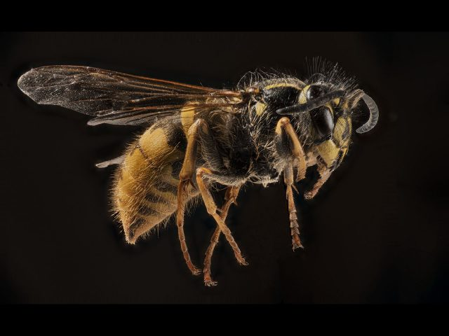 2220_Ken Brown_Hairy Wasp