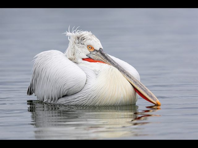 2nd Print - Dalmatian Pelican At Rest