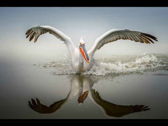 Dalmatian pelican on Lake Kerkini