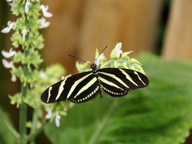 Green Striped Butterfly