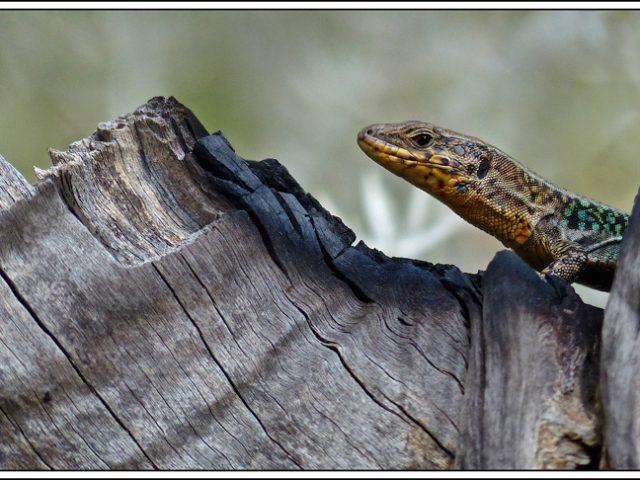 Gecko on Burnt tree stump