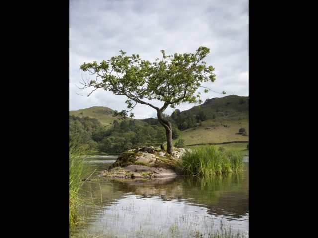 Lonely Tree Rydal