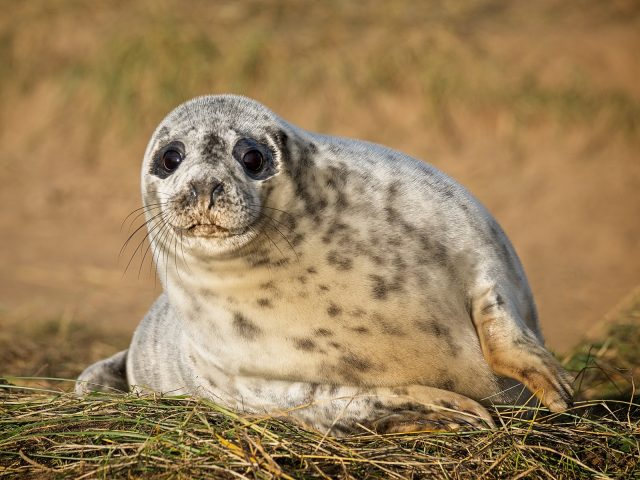 PDI Very Highly Commended_Grey Seal Pup by Peter King