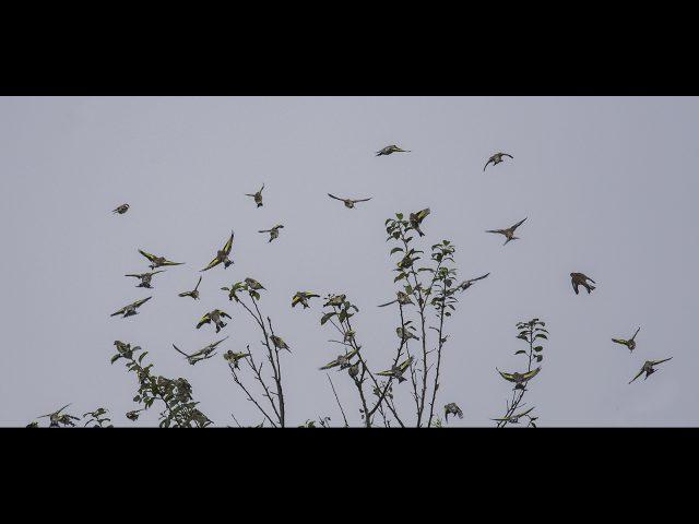 sandra eastham_goldfinch flock